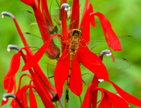 Dragonfly on Cardinal Flower