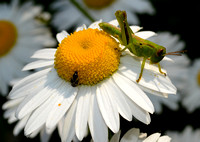 Ox-eye Daisy with Grasshopper & Minute Pirate Bug