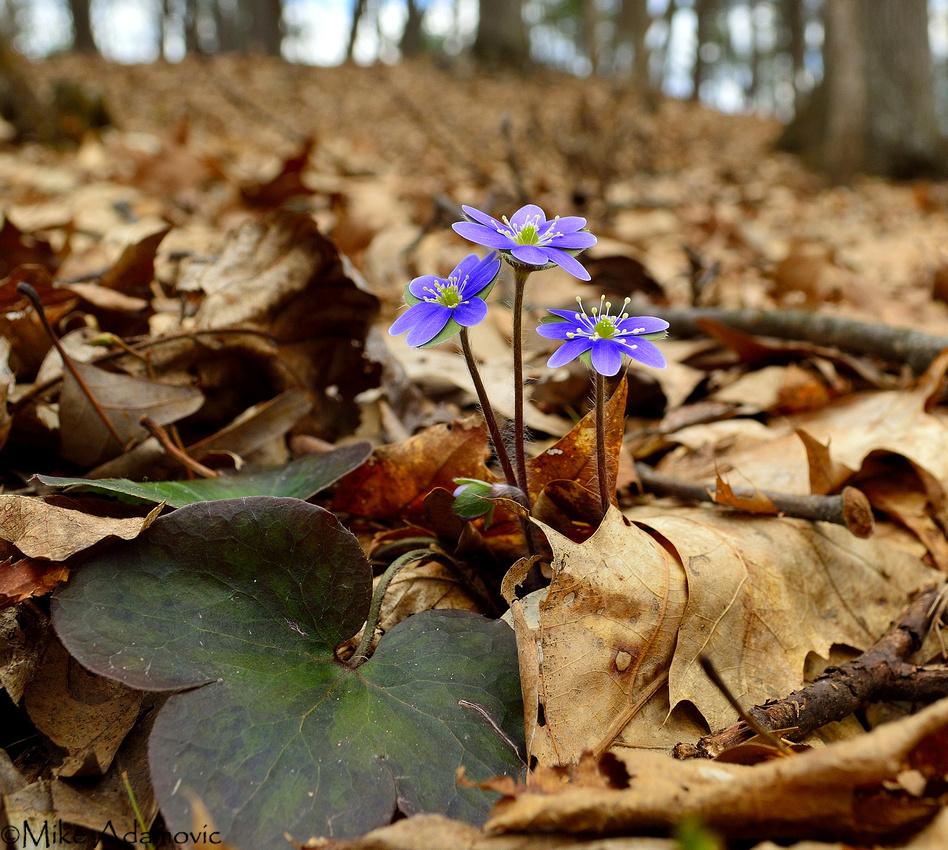 Woodland Hepatica