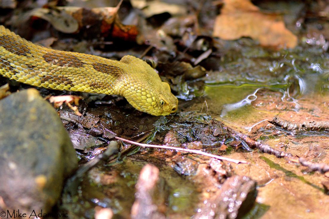 Drinking Rattlesnake