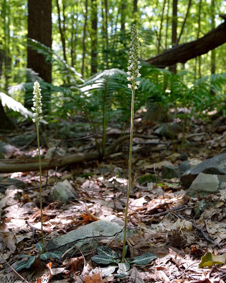 Rattlesnake Plantain Woodland