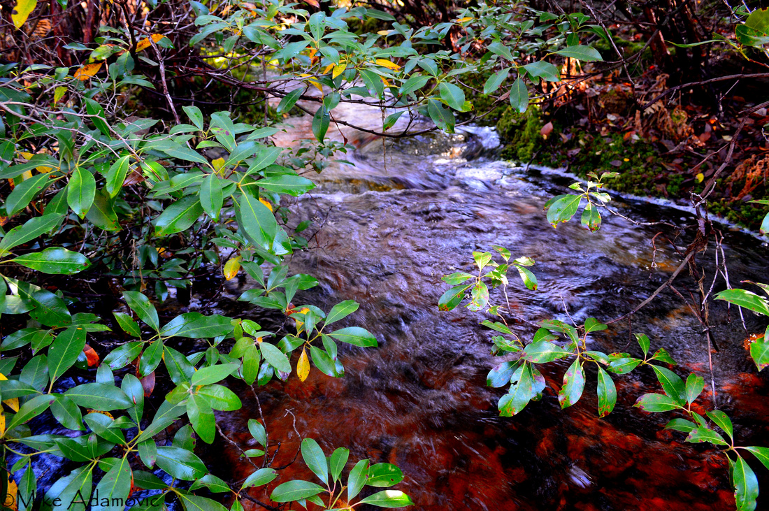 Mountain Laurel Over a Tannin-laced Stream