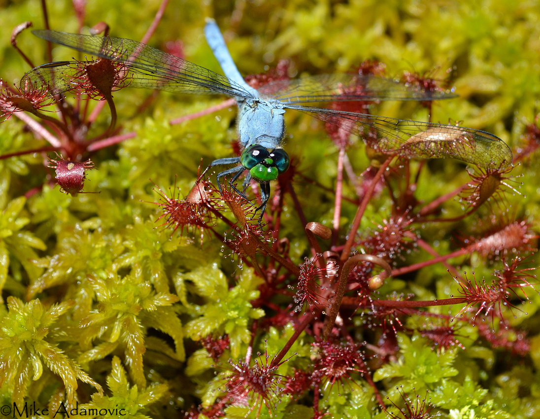 Dragonfly Captured by Spatulate-leaved Sundew