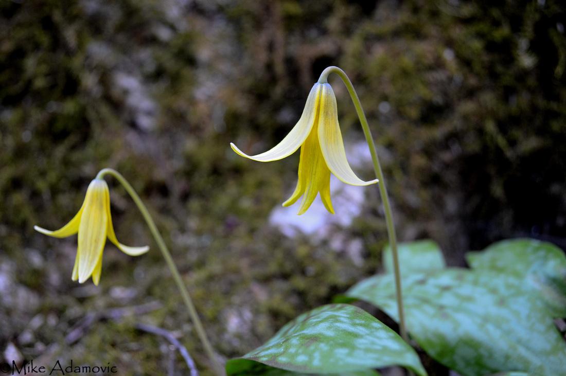 Nodding Trout Lilies