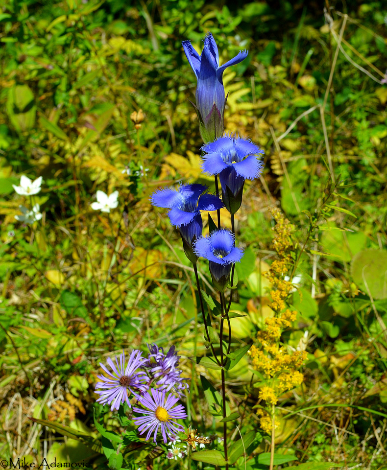 Fringed Gentian & Fall Wildflowers