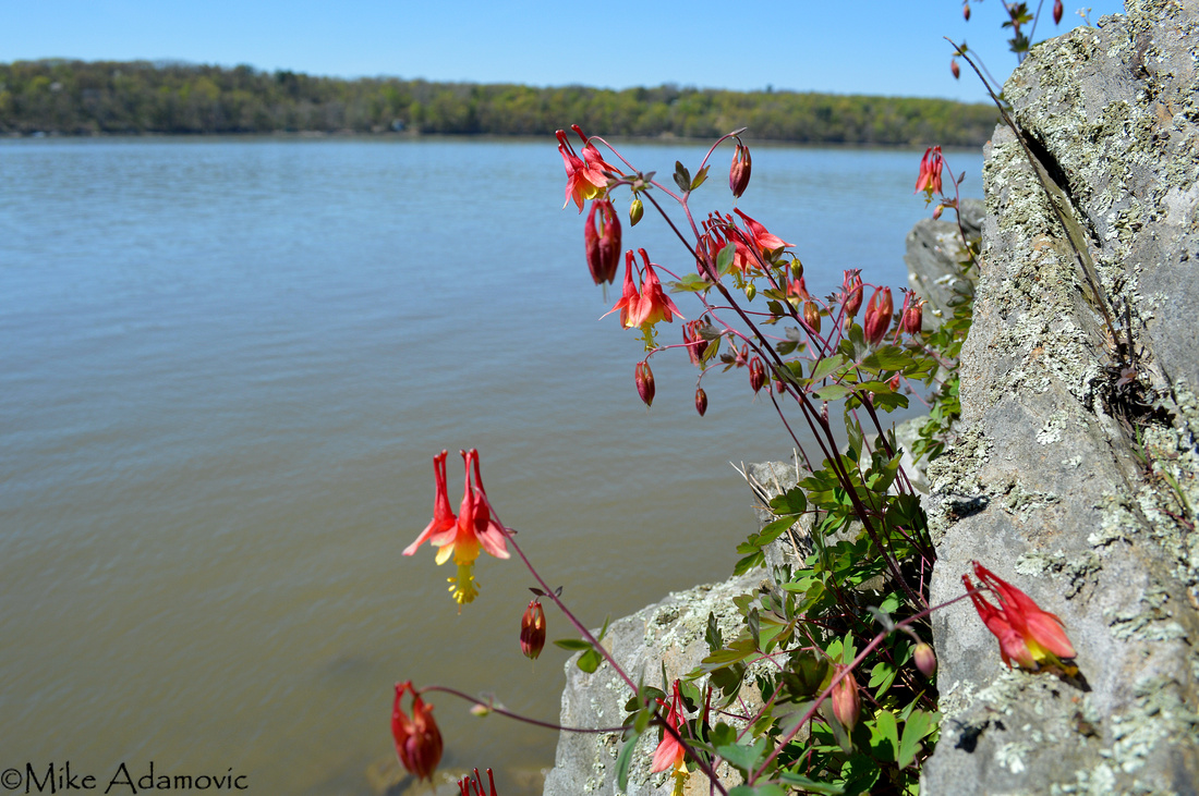 Red Columbine along the Hudson