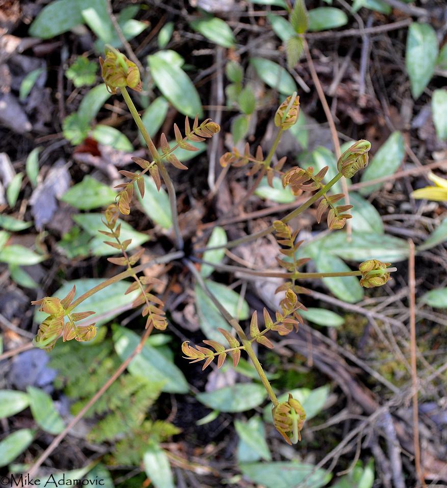 Royal Ferns