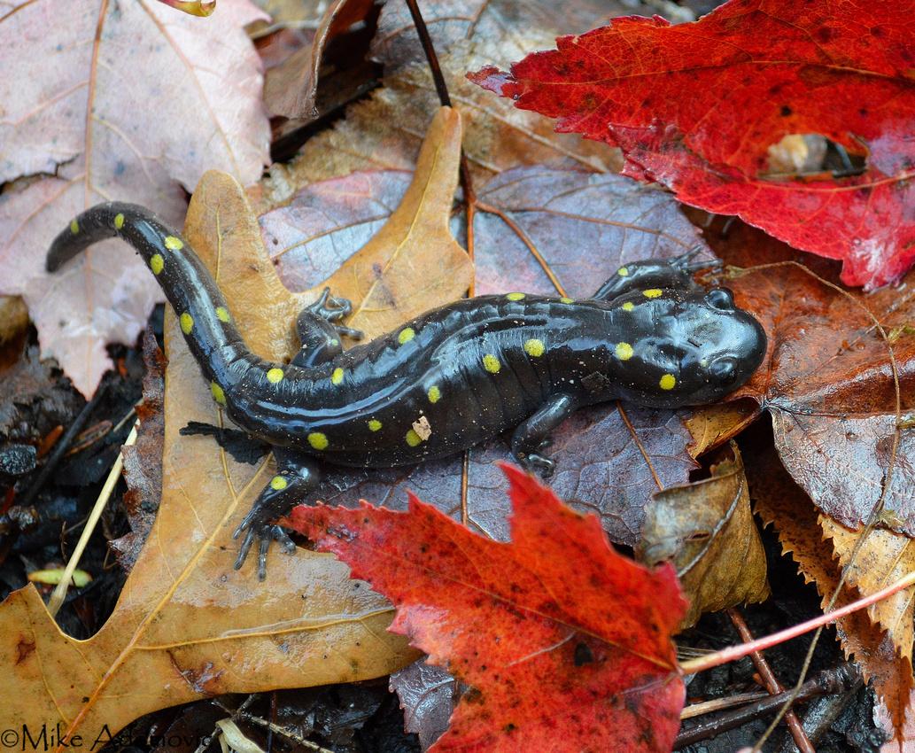 Spotted Salamander2