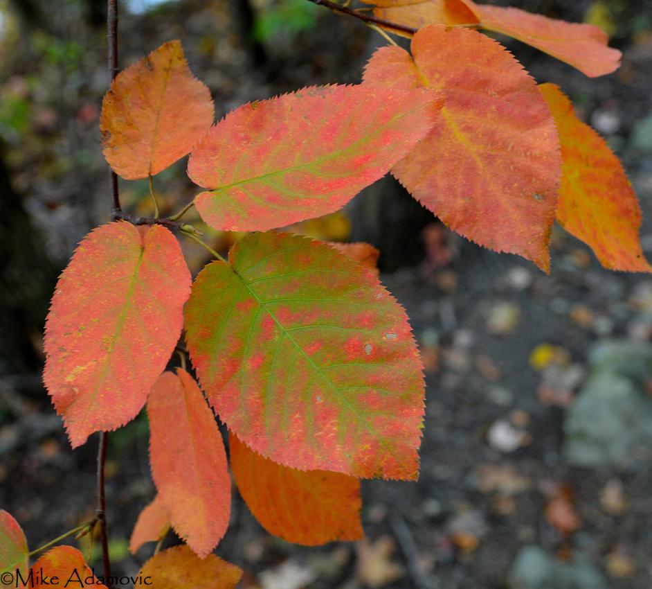Shadbush Foliage