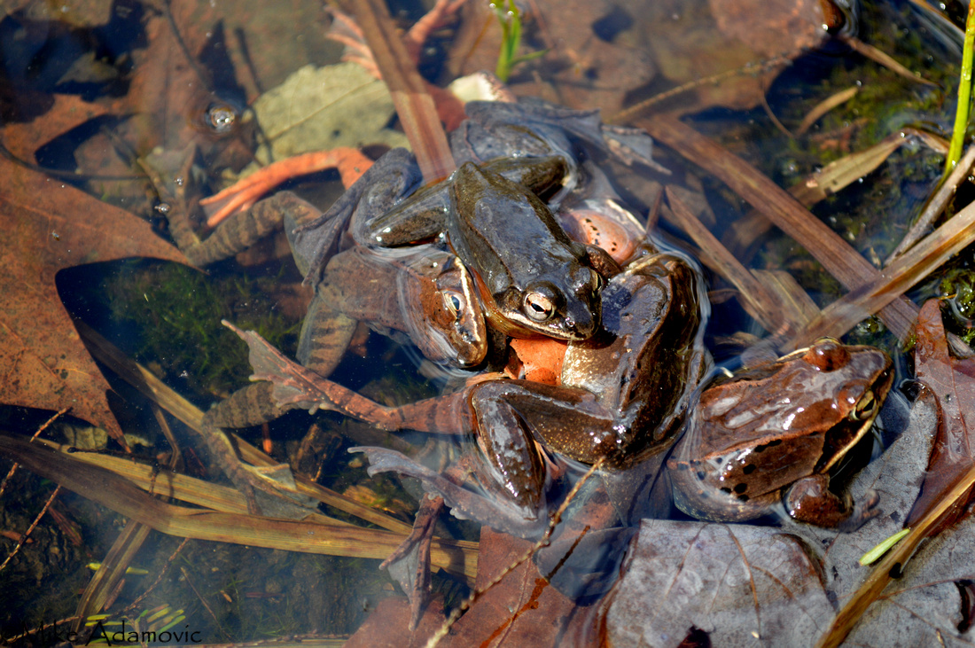 Wood Frogs